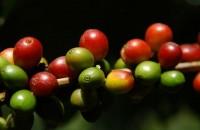 Coffee Cherries Red(1)